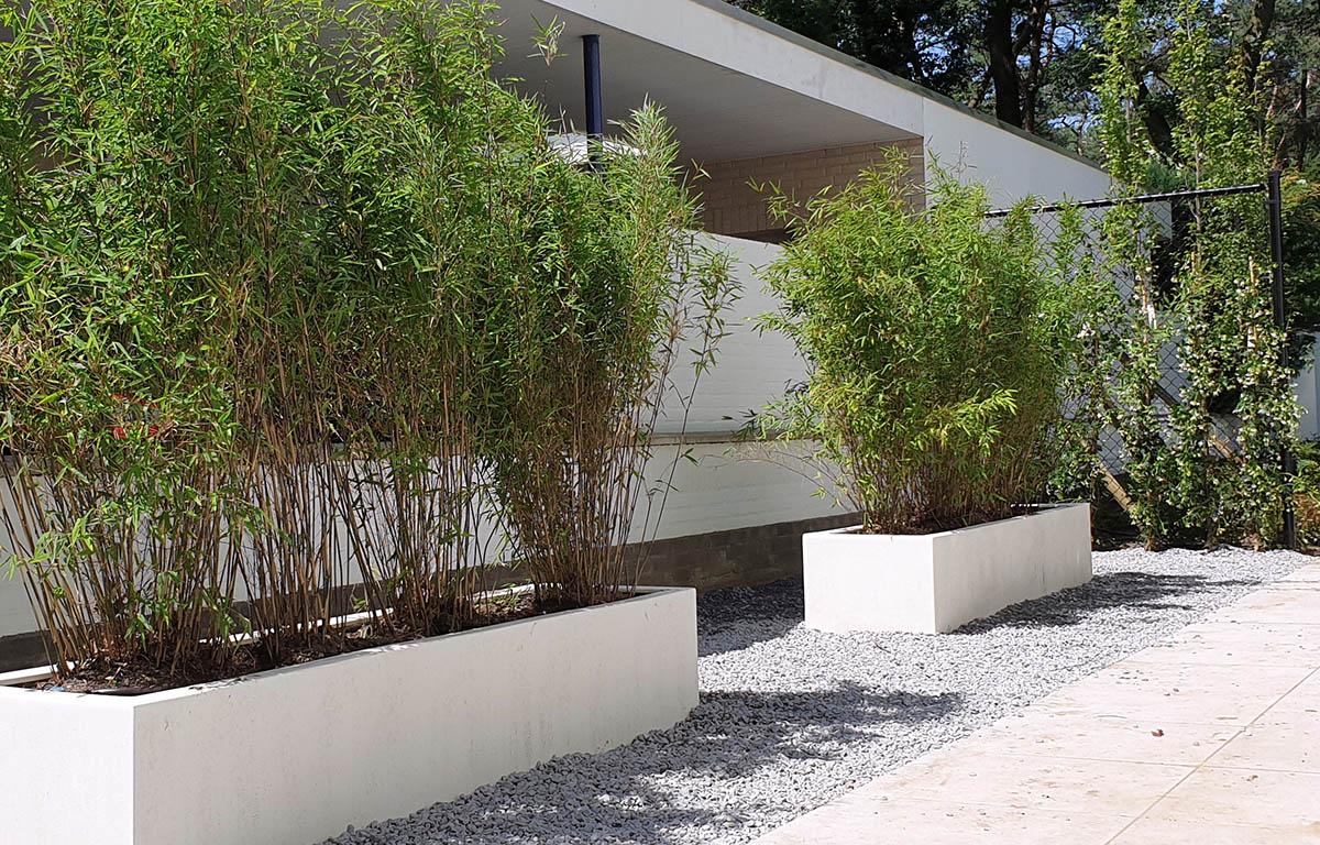 Fargesia niet-woekerende Bamboe